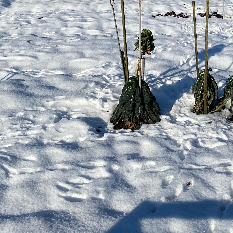 De palmkool staat er wat verloren bij maar aan de sporen te zien zijn er gelukkig wel liefhebbers voor #biologische #moestuin