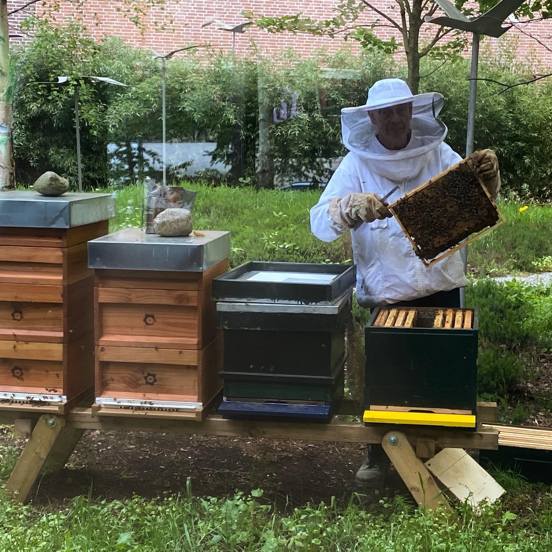 De @isalabijenstand is vandaag uitgebreid met een 4e volk met zo'n 20.000 nieuwe #werksterbijen. Imker Teake voert nog een inspectie uit van het #broed, de kraamkamers van het #bijenvolk. Het #broednest zit altijd in de buurt van de vliegopening met #stuifmeel en #honing er om heen. Het broed heeft een temperatuur nodig van ongeveer 35 graden celsius. De eitjes en/of larven worden het open broed genoemd. De bijen in het popstadium worden het gesloten broed genoemd. Broed met #darren heet darrenbroed, en broed met werkbijen heet werksterbroed.  @isalaziekenhuis