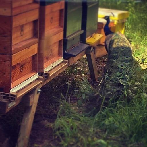 De @isalabijenstand trekt vele geïnteresseerden meestal vanachter het glas in de gang tussen V1 en V2 maar soms ook direct naast de kasten. Deze bijzondere schoonheid is waarschijnlijk komen buurten vanaf de kinderboerderij van het Weezenlandenpark. Zijn vermoedelijke baasje is op de hoogte gebracht. 🦚 #bijen #pauw @isalaziekenhuis